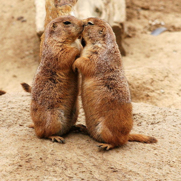 <i> Prairie dogs kissing</i>